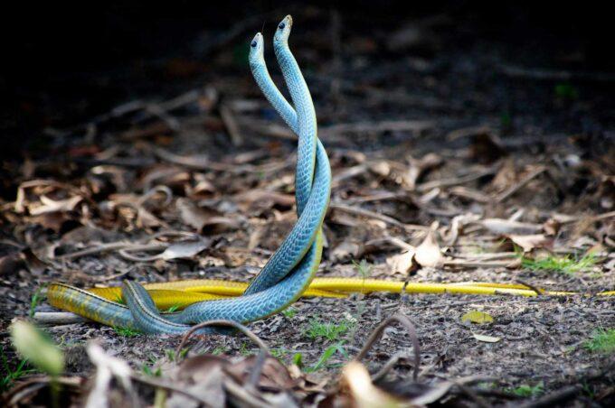 dwa niebieskie węże