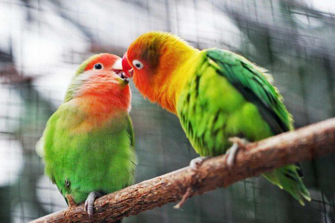 2 papużki