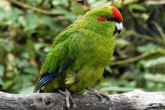 Papuga Kozia (Modrolotka czerwonoczelna)