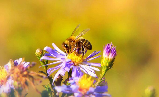Pszczoła miodna pije nektar