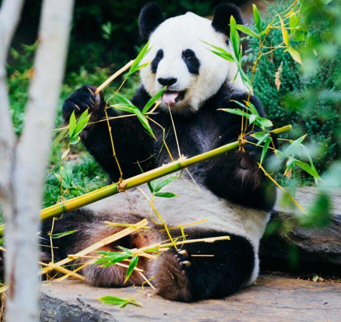 jedzenie bambusa