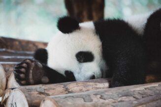 57 Fantastycznych Ciekawostek o Pandach