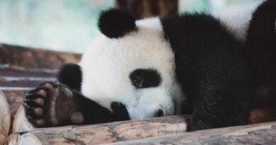 panda śpi