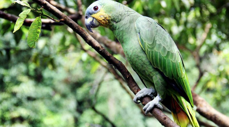 ptak amazonka