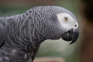 Papuga Żako