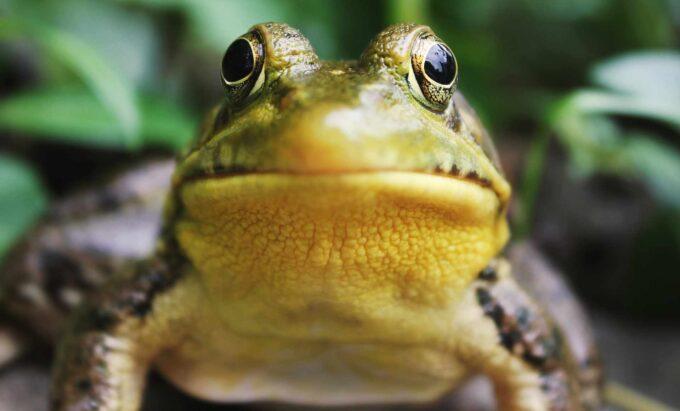 zbliżenie na żabę