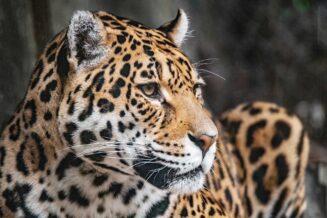 Ciekawostki dla dzieci o jaguarach