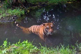 Tygrys Balijski - Ciekawostki, fakty oraz informacje