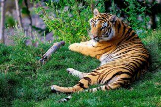 Tygrys Bengalski - Ciekawostki, fakty oraz informacje