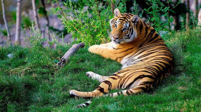 Tygrys Bengalski