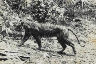 Tygrys Jawajski - Ciekawostki, fakty oraz informacje