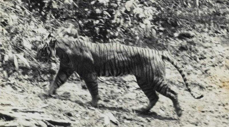Tygrys Jawajski