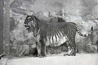 Tygrys Kaspijski - Ciekawostki, fakty oraz informacje