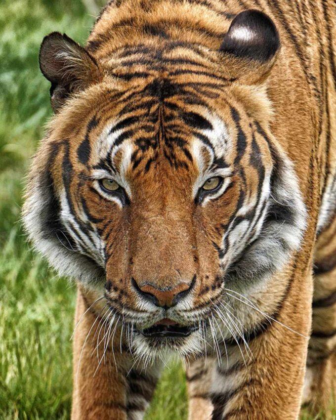 Tygrys Malajski