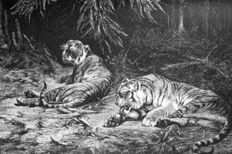 Tygrys z Trinil - Ciekawostki, fakty oraz informacje