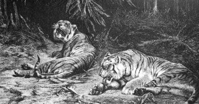 Tygrys z Trinil
