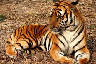 Tygrys Chiński - Ciekawostki, fakty oraz informacje