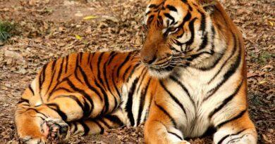 tygrys chiński