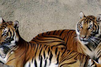 Tygrys Indochiński - Ciekawostki, fakty oraz informacje