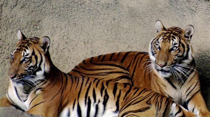 tygrys indochiński