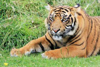 Tygrys Sumatrzański - Ciekawostki, fakty oraz informacje