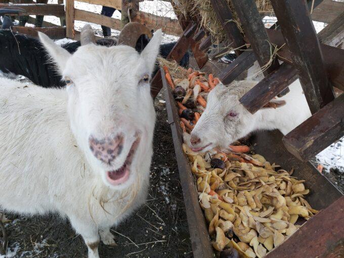 jedzące kozy