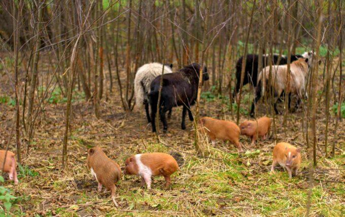 świnki wietnamskie i owce
