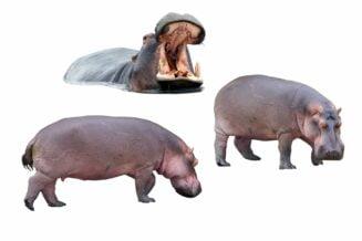 10 Interesujących Ciekawostek o Hipopotamach Dla Dzieci