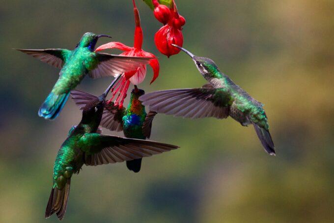 ptaki - Koliber