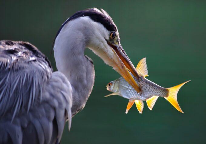 ptak czapla