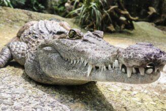 10 Interesujących Ciekawostek o Krokodylach Dla Dzieci