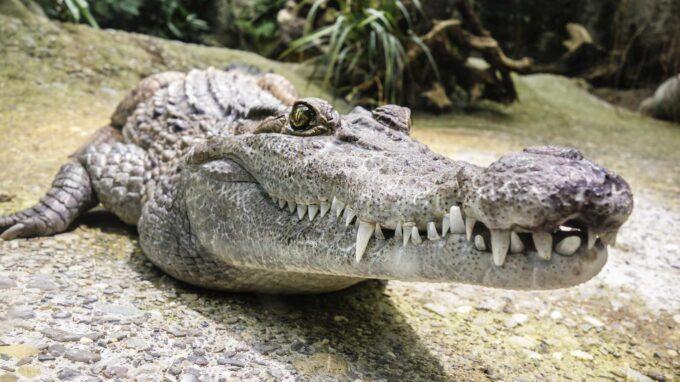duży krokodyl