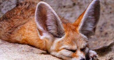fenek śpi