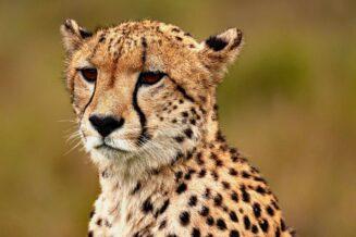 10 Zaskakujących Ciekawostek o Gepardach Dla Dzieci