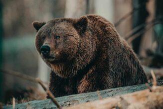 10 Interesujących Ciekawostek o Niedźwiedziach Grizzly Dla Dzieci