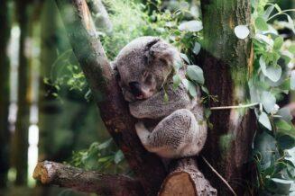 Ciekawostki i informacje o koalach dla dzieci