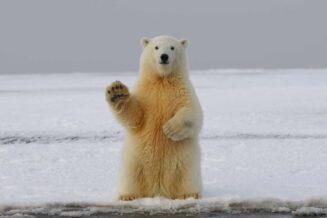 10 ciekawostek o niedźwiedziach polarnych dla dzieci