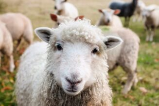 O Owcach - 10 ciekawostek dla dzieci