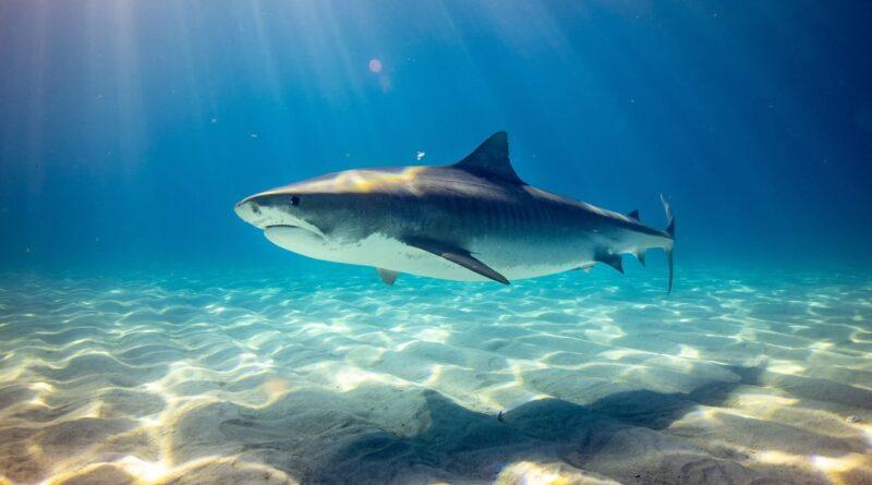 rekin w oceanie