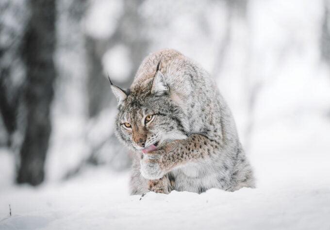 ryś zimą