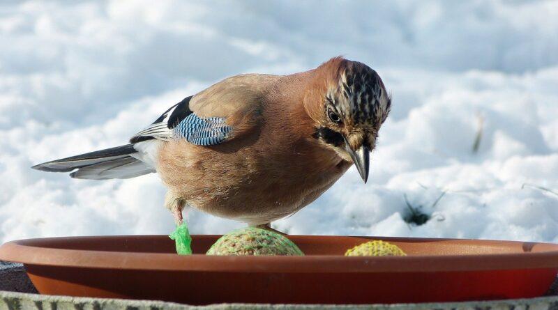 ptak sójka