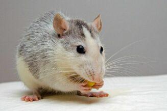 O Szczurach - 10 ciekawostek dla dzieci
