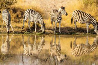 10 Zaskakujących Informacji i Ciekawostek o Zebrach Dla Dzieci