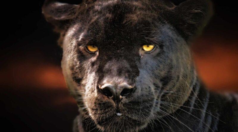 głowa czarnej pantery