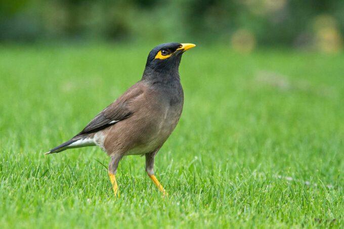 ptak gwarek
