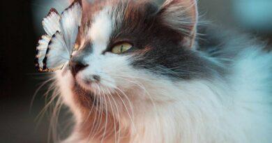 motyl na nosie kota