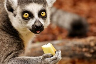 Lemury - Interesujące Ciekawostki dla dzieci