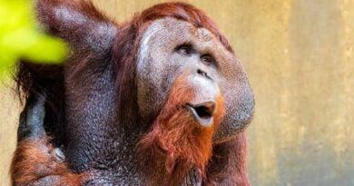 twarz orangutana