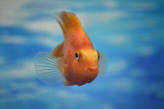 Zaskakujące ciekawostki dla dzieci o Złotych rybkach