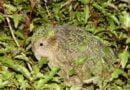 Fascynujące ciekawostki dla dzieci o Kakapo